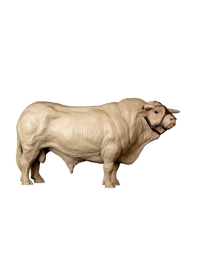 Damien Colcombet, Coquet, grand taureau charolais